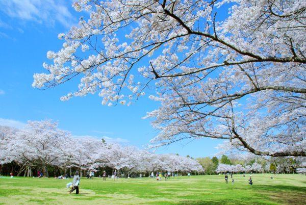 泉自然公園:桜