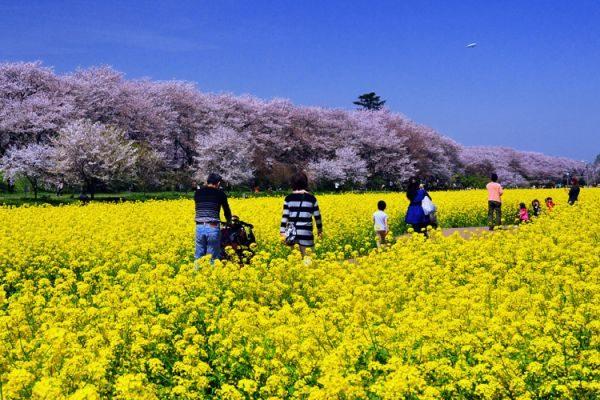 幸手権現堂公園:桜まつり